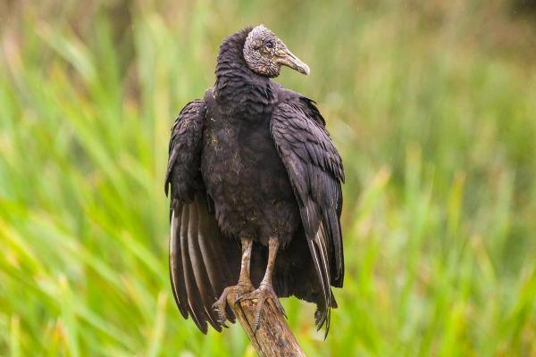 Saiba mais sobre o urubu-de-cabeça-preta encontrado em banheiro da Unochapecó